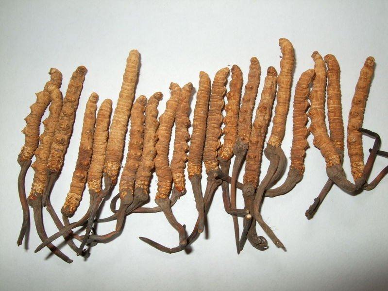 Cordyceps Sinensis fungus