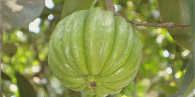 Garcinia Cambogia: Safe for Weight Loss? - WebMD