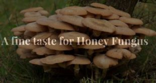 A fine taste for Honey Fungus