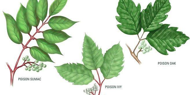 poison ivy sumac oak