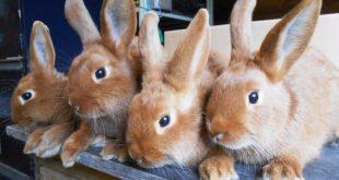 rabbits poland